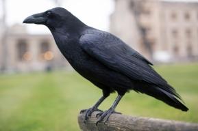 Ravens_028
